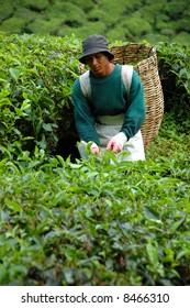 Worker harvesting Tea