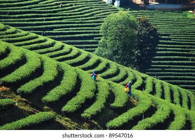 worker harvesting tea in plantation
