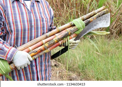 worker holding cane cutter knife and sugarcane fresh, farmers cutting sugar cane, sugarcane and farmer sugar cane at farm, farmers at sugarcane farm, workers and sugarcane cut for plantation field