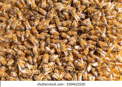 Worker honey bees on a frame from a hive.