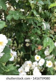 Worker honeybee in flight with pollen sacks on hind legs, flying amongst white rambling rose bush