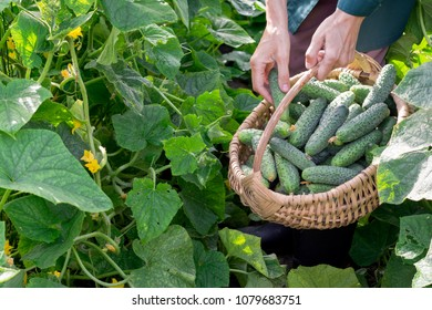 Worker keeps the basket with cucumbers and picks others in the garden, agriculture and harvesting concept