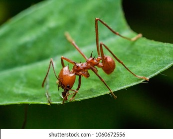 Worker leafcutter ant [Atta cephalotes] cutting a leaf of Arachis pintoi, an inedible peanut. Between her jaws she has a drop of liquid, the purpose of which is still under discussion among scientists