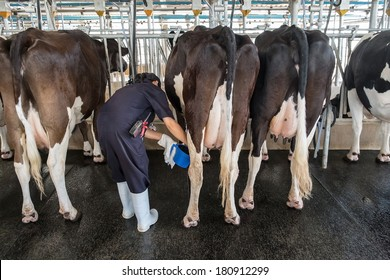 worker milking cows in the farm