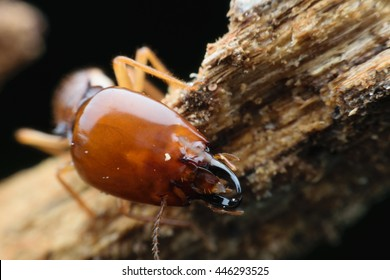 Worker and nasute termites