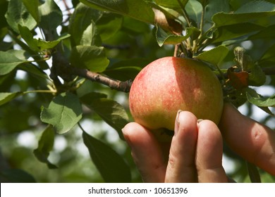 A worker picking a ripe apple from a tree