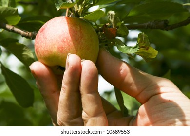 A worker picking a ripe red apple in a tree