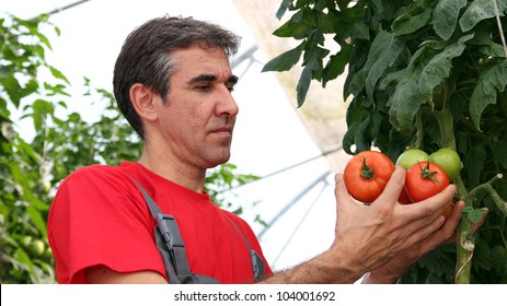 Worker Picking Tomatoes. Greenhouse produce. Food production. Tomato growing in greenhouse.