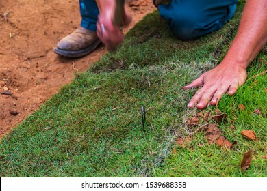 A worker placing staples into new Saint Augustine sod grass to hold it in place on a slope