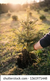 Worker plant a young tree in the garden. Small plantation for a christmas tree. Picea pungens and Abies nordmanniana. Spruce and fir.