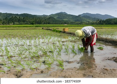 Worker planting rice in the field, Philippines