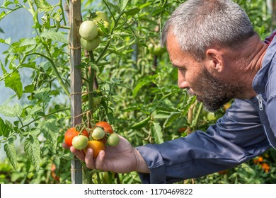 Worker processing the tomatoes bushes in the greenhouse of polycarbonate