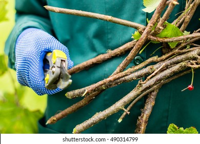 Worker is pruning plant branches, gardener is thinning red currant bush branches, horticulture concept