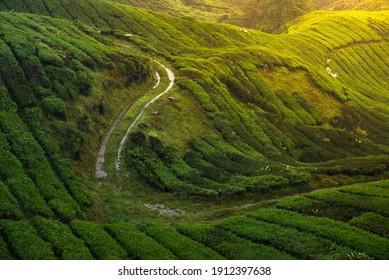 Worker road during harvesting tea leaves in BOH Tea Farm