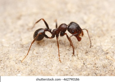 Worker of Seed-harvesting ant