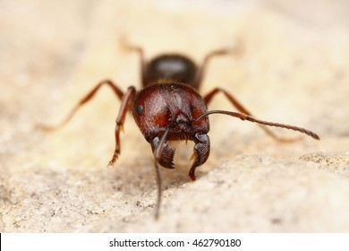 Worker of Seed-harvesting ant with huge mandibles