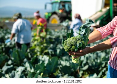 Worker shows broccoli on plantation. Picking broccoli. Tractor and automated platform in broccoli big garden. Sunny day. Woman hold broccoli head.