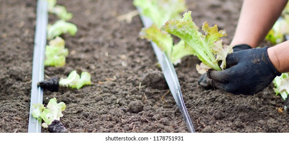 The worker sits salad sprouts in the greenhouse under drip irrigation