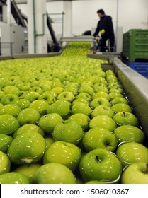 Worker sorts green apples at orchard processing line