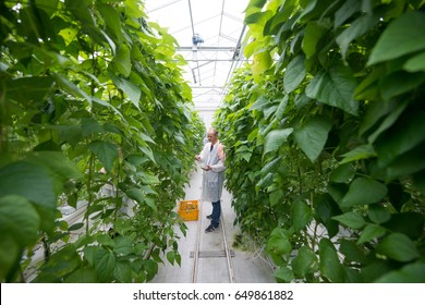 Worker Standing Amidst Green Beans Plants In Greenhouse