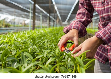 Worker taking care of orchid plant growing in orchid farm, Thailand.