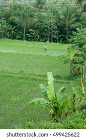 A worker tends the rice fields near Ubud, Bali with banana and coconut trees framing.