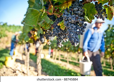 Worker in a vineyard in Wachau, Lower Austria