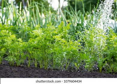 Worker is watering carrot plants in the garden, garden  beds in the farmer's farmland,  ecological agriculture for producing healthy food concept
