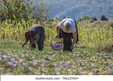 Workers with baskets gathering saffron flowers during saffron harvesting season