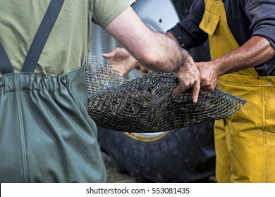 Workers carrying bag with oysters