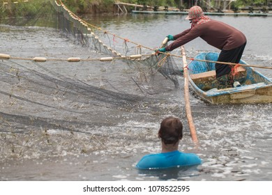 Workers are catching shrimp by the net, dividing some catch from the pond to reduce the density.