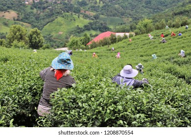 The workers are collecting fresh tea leaves on tea farm planting in the valley high mountain in Chiang Rai province, the north of Thailand.
