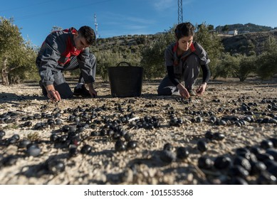 workers collecting olive oil in jaen, Spain. Black olives harvest, floor collection