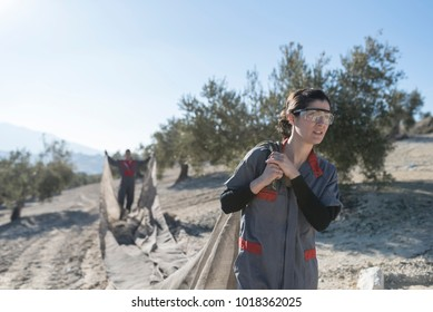 workers collecting olive oil in jaen, Spain. Black olives harvest