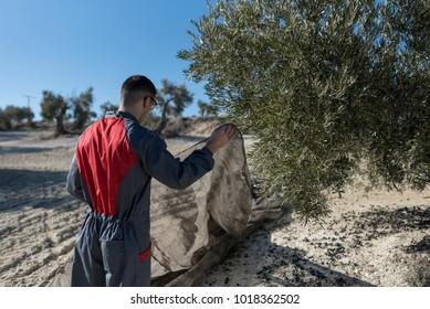 workers collecting olive oil in jaen, Spain. Black olives harvest