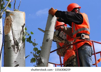 workers cut large trees at a height