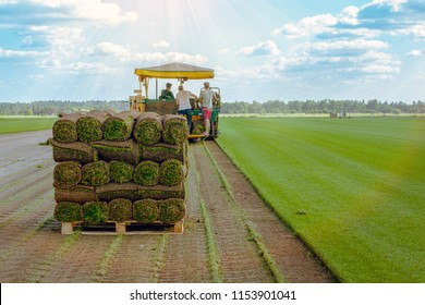 Workers cut and stacked on pallets on the turf sod farm. Rolled lawn, green grass.
