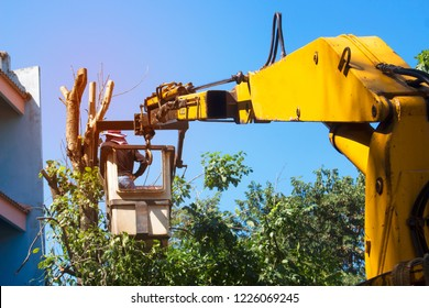 Workers are cutting tall trees near buildings using cranes to facilitate.