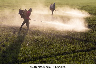 Workers employed farmers are helping to make a spraying herbicides in paddy morning.