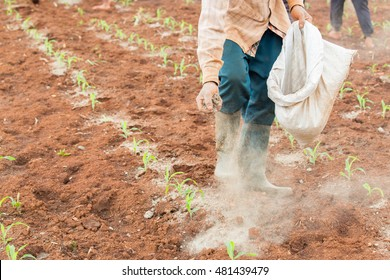 workers filling organic fertilizer made by dry chicken dung in the sweet corn plantation