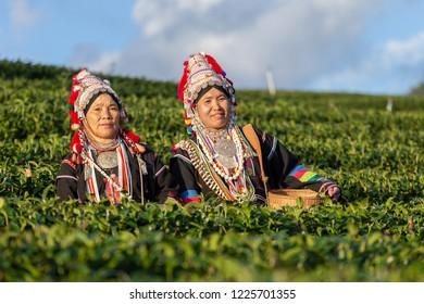 Workers in a green  field harvesting green tea.