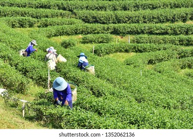 The workers harvest green tea leaves, Chiang Rai, Thailand, 30 November 2018.