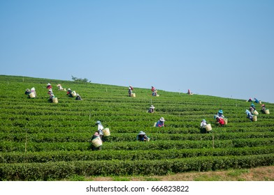 Workers harvesting a tea leaf in afternoon Jan30,2015 at Chiangrai Thailand.
