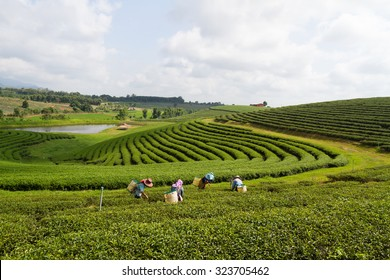 Workers harvesting tea leaf at a beautiful tea plantation in Thailand.