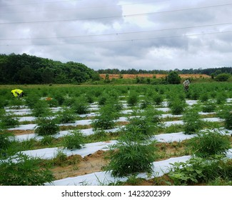 Workers make cuttings from hemp plants growing in a field to create clones for resale. Industrial hemp farms from converted vegetable fields produce more cash for farmers. Healthcare and CBD cosmetics