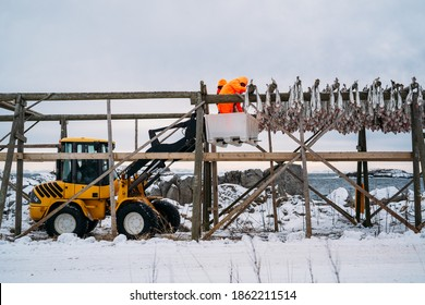 Workers on the wooden stockfish rack in winter.Lofoten, island, Nordland, Norway