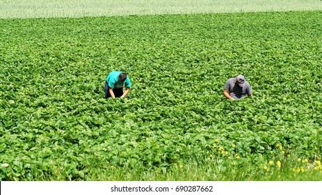 Workers pick strawberries