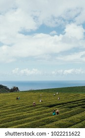 Workers picking up tea at Gorreana plantation 01