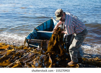 Workers unload seaweed kelp from the boat to shore. Russia. Japan sea.