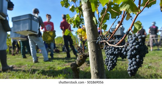 Workers in vineyards, Grape Harvest, Saint Emilion, Bordeaux, France